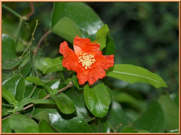 Fleur de Cognassier du Japon à Saint Rémy de Provence, Alpilles (13)