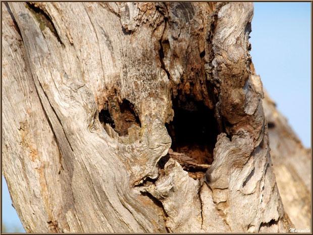 Nid dans un tronc d'arbre, Sentier du Littoral, secteur Port du Teich en longeant La Leyre, Le Teich, Bassin d'Arcachon (33)