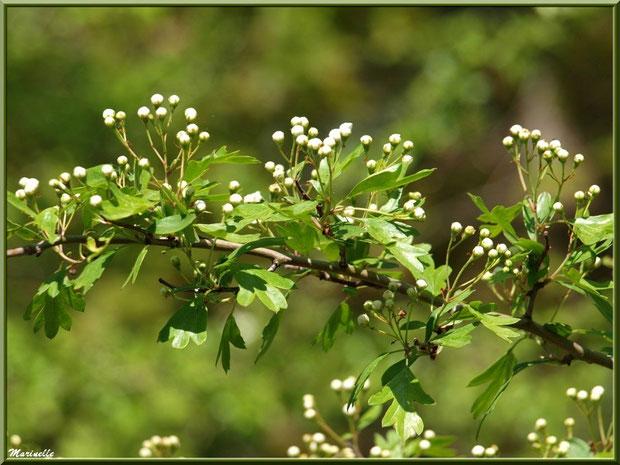 Aubépine et ses fleurs en bouton, flore sur le Bassin d'Arcachon (33)