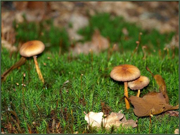 Petits champignons sur lit moussu en forêt sur le Bassin d'Arcachon