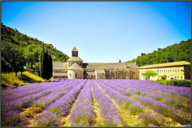 L'Abbaye de Sénanque à Gorde et un de ses nombreux champs de lavande (84)