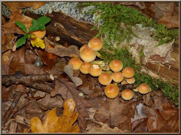 Hypholomes en Touffe contre une branche moussue en forêt sur le Bassin d'Arcachon
