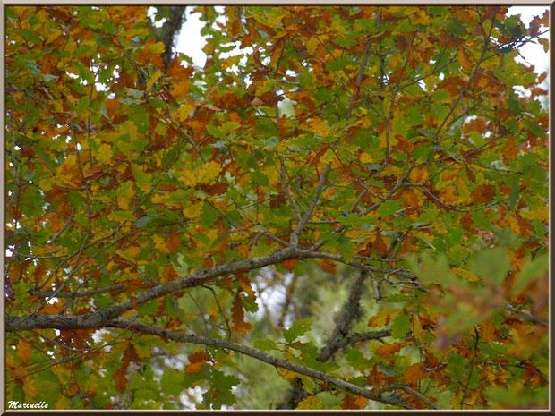 Sous un chêne automnal, forêt sur le Bassin d'Arcachon (33)