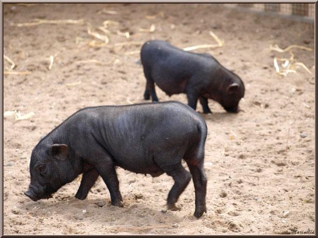 Porcs du Vietnam,  Parc de la Coccinelle, mini-ferme à Gujan-Mestras, Bassin d'Arcachon (33)