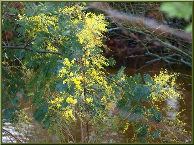 Mimosa en éclosion au Parc de la Chêneraie à Gujan-Mestras (Bassin d'Arcachon)