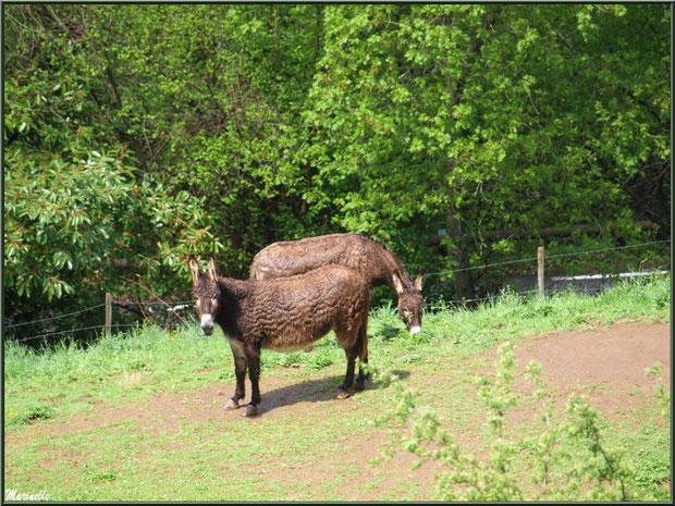 Petits ânes dans la Vallée d'Ossau (64)