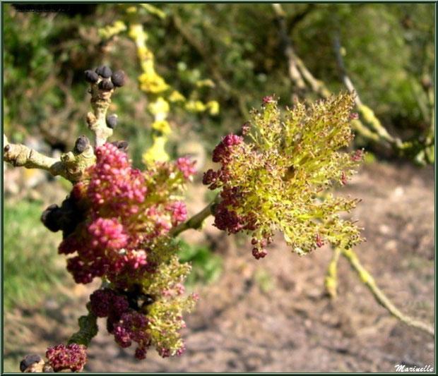 Frêne Commun en fleurs, flore Bassin d'Arcachon (33)
