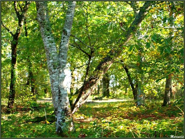 Sous-bois en forêt sur le Bassin d'Arcachon (33)