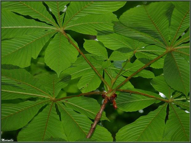 C'est l'été, le Marronnier d'Inde ou Marronnier Commun offre l'ombre généreuse de ses grandes feuilles palmées, flore Bassin d'Arcachon (33)