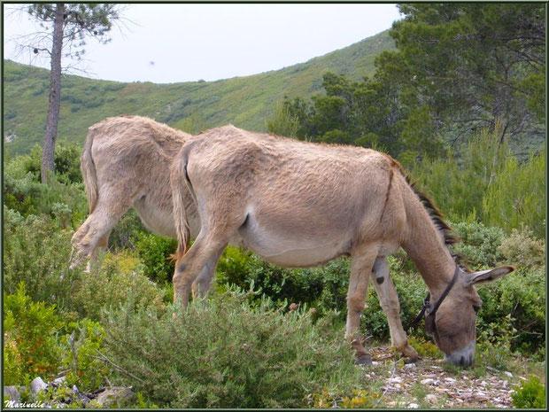 Petits ânes dans la garrigue des Alpilles au massif de La Caume, Bouches du Rhône