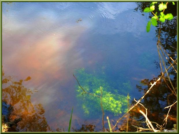 Végétation, mousses aquatiques et reflets en bordure de La Leyre, Sentier du Littoral au lieu-dit Lamothe, Le Teich, Bassin d'Arcachon