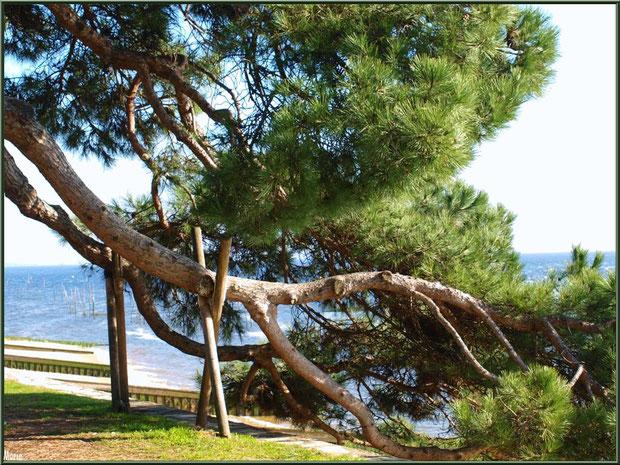 Pin aux branches tortueuses et couchées sur l'esplanade devant l'entrée de la Chapelle Algérienne et vue imprenable sur le Bassin, Village de L'Herbe, Bassin d'Arcachon (33)