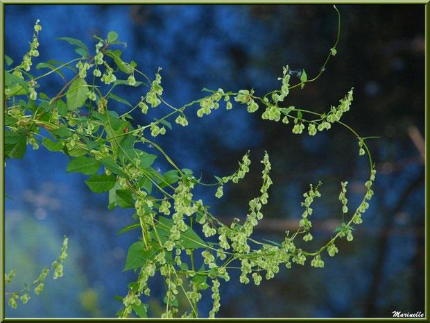 """Tamier ou """"raspounchou"""" ou Herbe aux femmes battues en fleurs, flore sur le Bassin d'Arcachon (33)"""