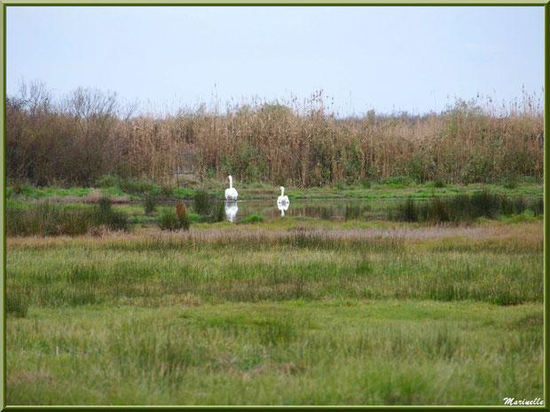 Couple de cygnes en promenade et leur reflet dans un ruisseau dans les prés salés, Sentier du Littoral secteur Pont Neuf, Le Teich, Bassin d'Arcachon (33)