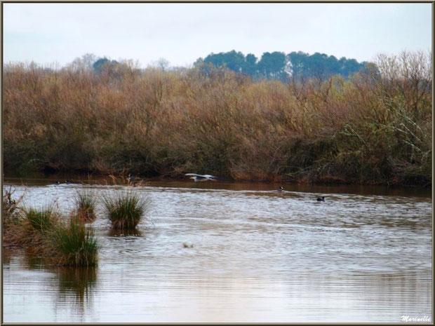 Mouette et foulques dans un réservoir, Sentier du Littoral, secteur Port du Teich en longeant La Leyre, Le Teich, Bassin d'Arcachon (33)