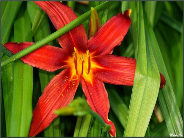 Les Terrasses :  superbe fleur d'Hémérocalle - Les Jardins du Kerdalo à Trédarzec, Côtes d'Armor (22)