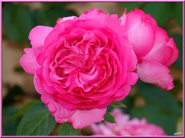 Roses roses à Saint Rémy de Provence, Alpilles (13)