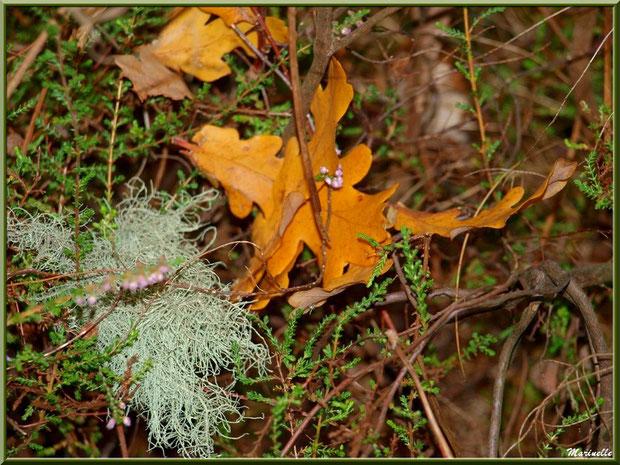 Feuilles de chêne automnales, bruyère et touffe de lichen, forêt sur le Bassin d'Arcachon (33)