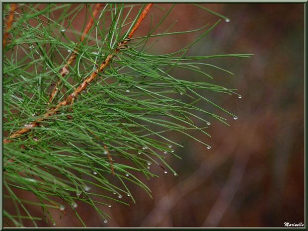 Branchement de pin et ses aiguilles aux perles de pluie au Parc de la Chêneraie à Gujan-Mestras (Bassin d'Arcachon)