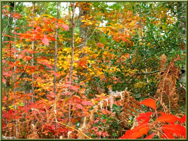 Méli mélo forestier automnal : chênes, fougères et houx, forêt sur le Bassin d'Arcachon (33)