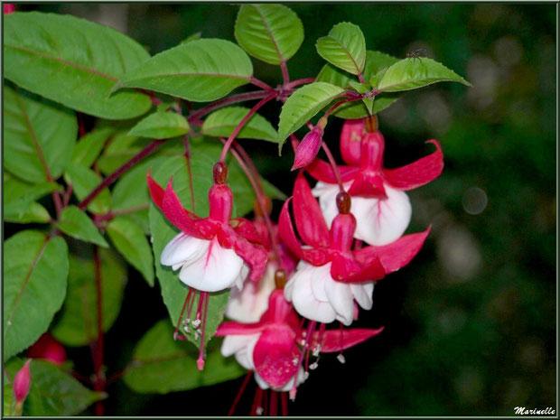 Fuchsia au jardin