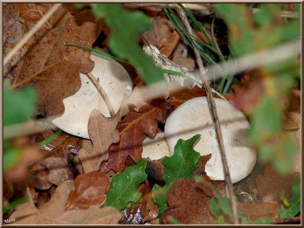 Clitocybes Nébuleux, bien cachés, en forêt sur le Bassin d'Arcachon