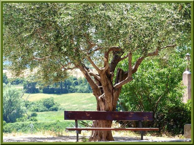 Banc et vieil olivier (en face de l'église) dans le village de Cucuron, Lubéron (84)