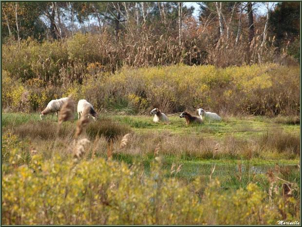 Moutons en pâturage dans les prés salés, Sentier du Littoral, secteur Port du Teich en longeant La Leyre, Le Teich, Bassin d'Arcachon (33)