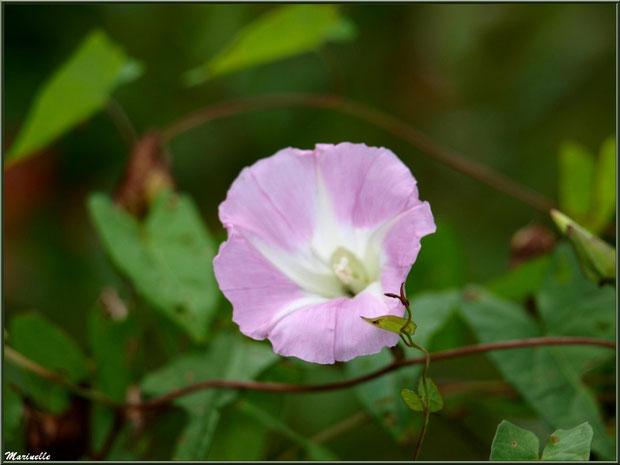 Liseron rose à coeur blanc en bordure de route au village d'Aas, Vallée d'Ossau (64)