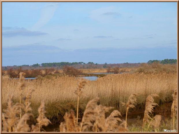 Roseaux, La Leyre et en fond les réservoirs, Sentier du Littoral, secteur Port du Teich en longeant La Leyre, Le Teich, Bassin d'Arcachon (33)