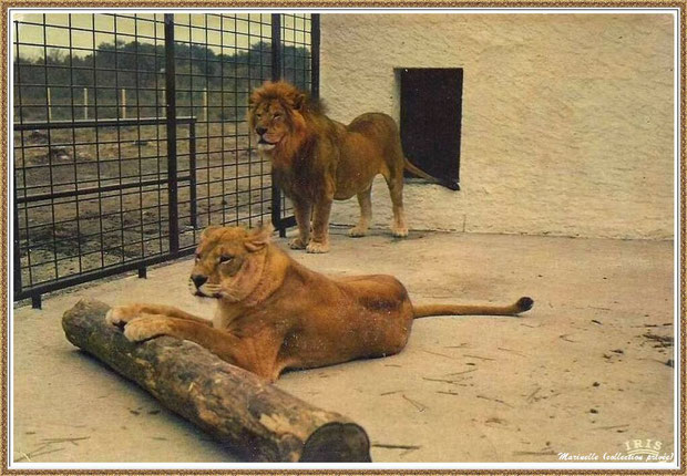 Gujan-Mestras autrefois : Couple de lions, ancien Zoo de La Hume, Bassin d'Arcachon (carte postale, collection privée)