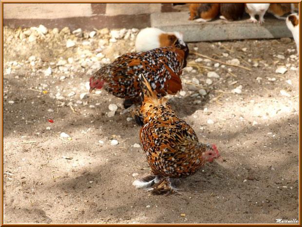 Poules et Cochons d'Inde, Parc de la Coccinelle, mini-ferme à Gujan-Mestras, Bassin d'Arcachon (33)
