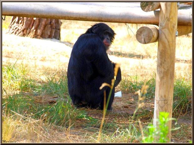 Chimpanzé, Zoo du Bassin d'Arcachon, La Teste de Buch (33)