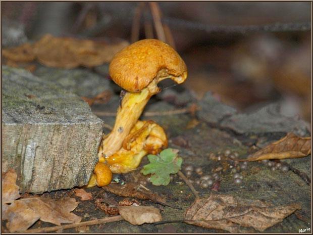 Gymnopiles Remarquables ou Pholiotes Remarquables en forêt sur le Bassin d'Arcachon