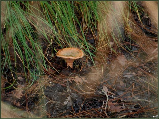 Lactaire Sanguin en forêt sur le Bassin d'Arcachon