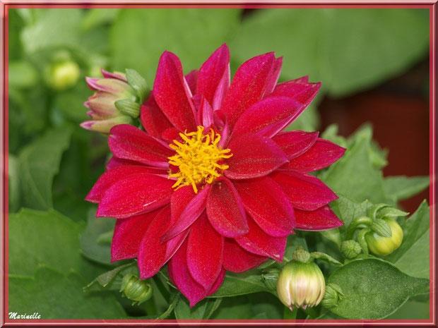 Dahlia rose fuchsia, au jardin