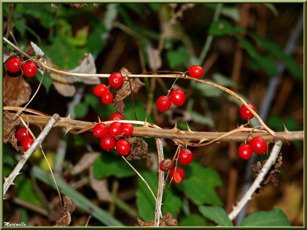 """Baies de tamier ou """"raspounchou"""" ou Herbe aux femmes battues enroulées sur un roncier, flore sur le Bassin d'Arcachon (33)"""
