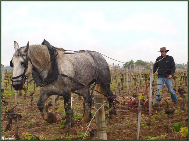 """Profession : """"Cheval des Vignes"""" dans un vignoble girondin près de Saint Emilion (33)"""