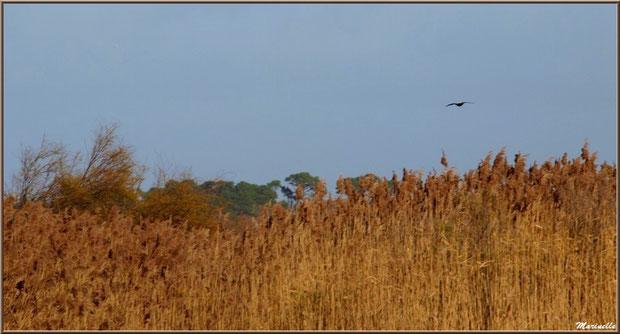 Cormoran en vol au-dessus des marais, Sentier du Littoral, secteur Port du Teich en longeant La Leyre, Le Teich, Bassin d'Arcachon (33)