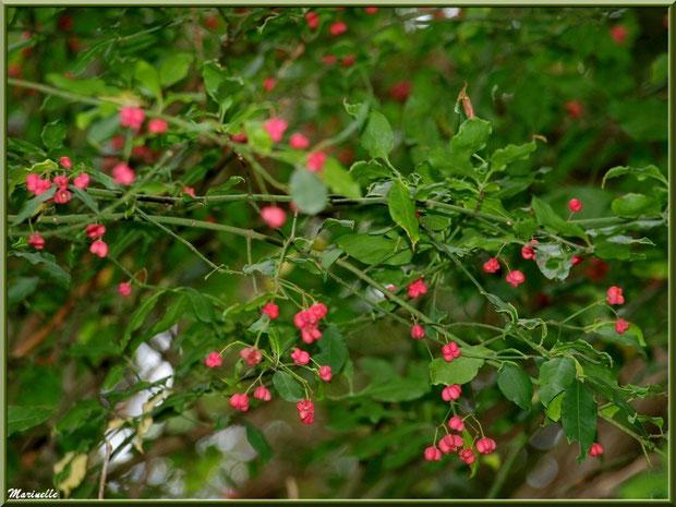 Bonnet d'Evêque ou Fusain d'Europe, flore sur le Bassin d'Arcachon (33)