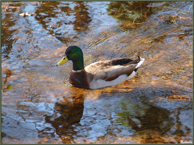 Canard Colvert au fil du Canal des Landes au Parc de la Chêneraie à Gujan-Mestras (Bassin d'Arcachon)