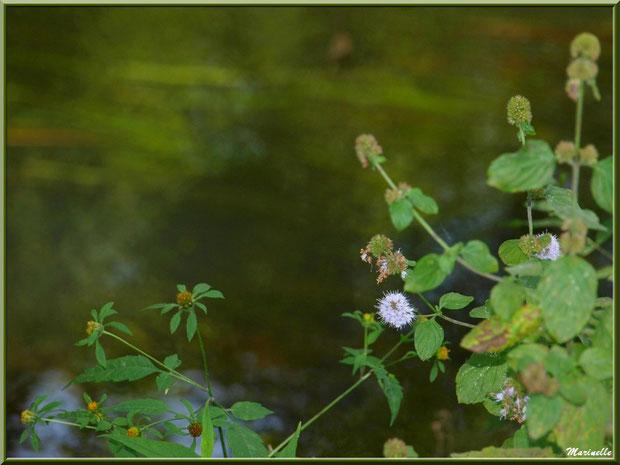 Menthe sauvage, petites marguerites en bouton et reflets sur La Leyre, Sentier du Littoral au lieu-dit Lamothe, Le Teich, Bassin d'Arcachon (33)