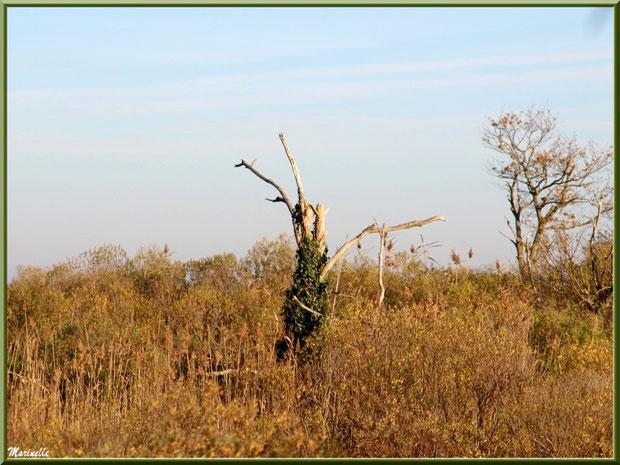 Chêne mort couvert de lierre et végétation hivernale dans les marécages, Sentier du Littoral côté Bassin, secteur Moulin de Cantarrane, Bassin d'Arcachon