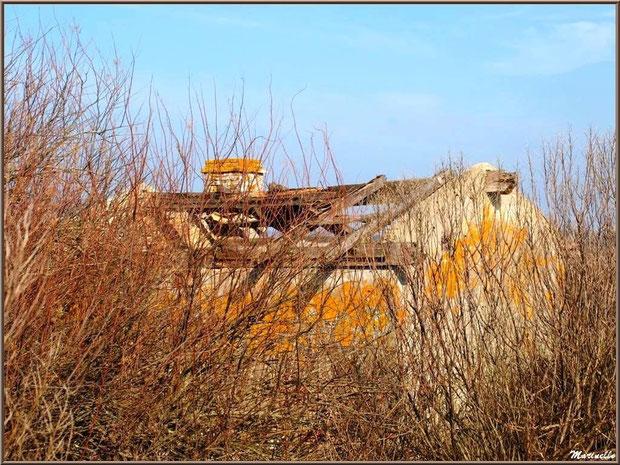 Ruines d'une ancienne maison d'un garde pêche-chasse en bordure du sentier et cachées dans les cotonniers hivernaux, Sentier du Littoral, secteur Domaine de Certes et Graveyron, Bassin d'Arcachon (33)