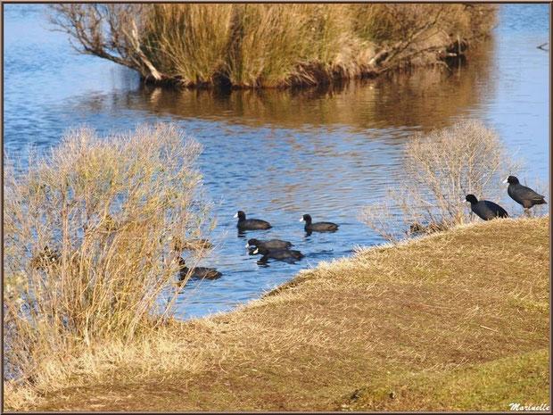 Foulques en famille prêtes pour le bain dans un réservoir, Sentier du Littoral, secteur Domaine de Certes et Graveyron, Bassin d'Arcachon (33)