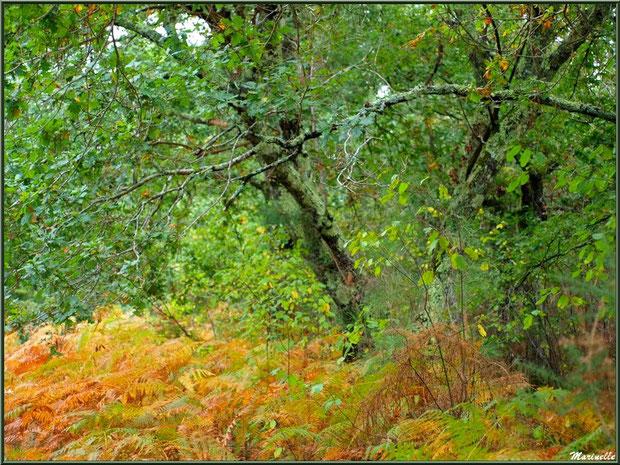 Méli mélo forestier : fougères, arbrisseaux et chênes aux couleurs automnales, forêt sur le Bassin d'Arcachon (33)