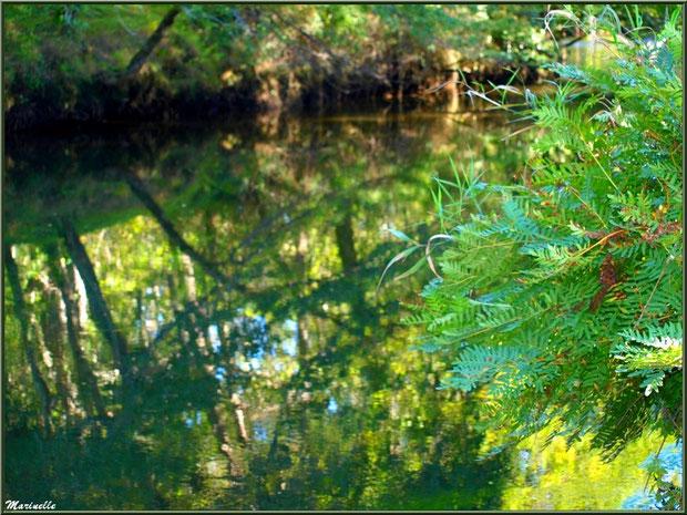 Fougères, verdure et reflets en bordure de La Leyre, Sentier du Littoral au lieu-dit Lamothe, Le Teich, Bassin d'Arcachon (33)