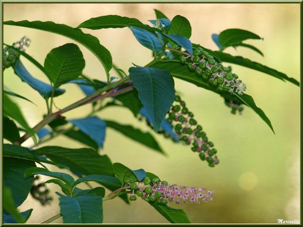Teinturier ou Raisin d'Amérique ou Encrier, flore sur le Bassin d'Arcachon (33)