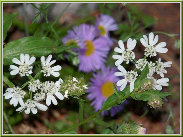 Fleurs blanches sur fond d'Asters mauves à Saint Rémy de Provence, Alpilles (13)