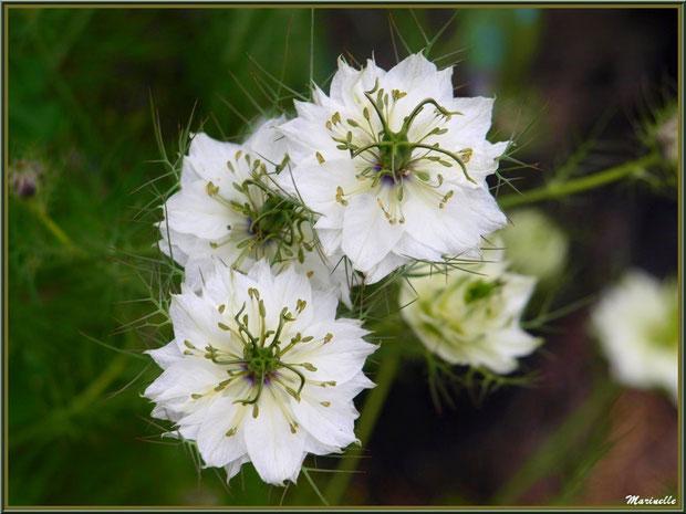 Nigelles blanches au jardin